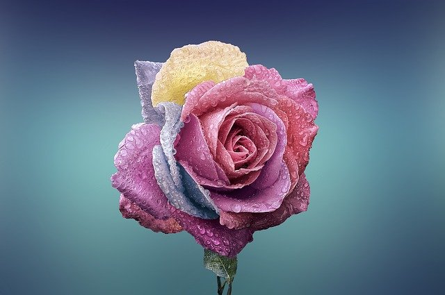 カラフルなバラ