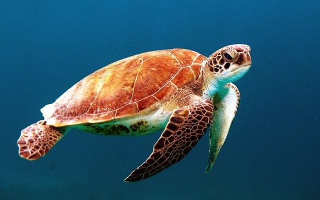 泳いでる海亀