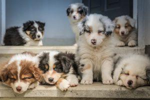 たくさんの子犬