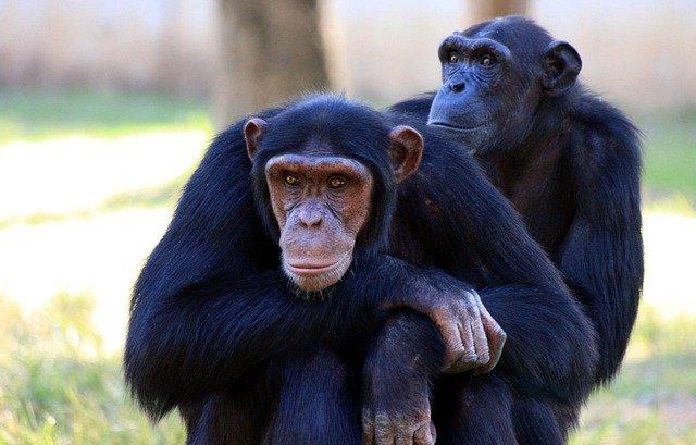 チンパンジーのカップル