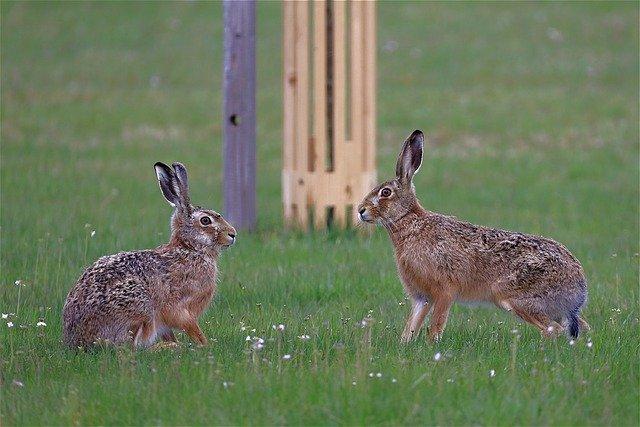 ウサギのカップル