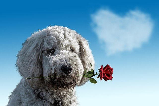 薔薇を持ったトイプードル